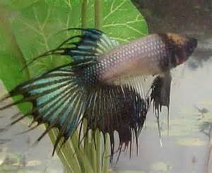 betta fish losing color betta losing color rapidly in sections page 3 betta