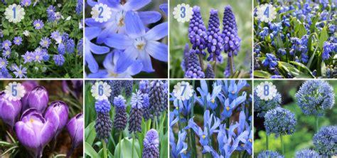 blue flower bulbs a touch of blue bulbs for a blue flower garden garden