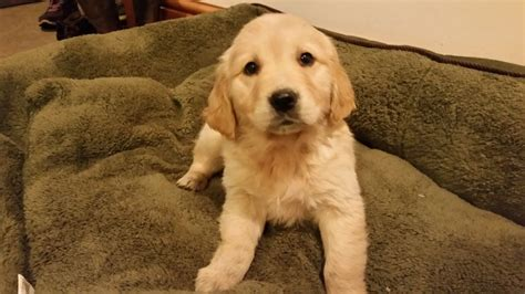8 week golden retriever puppies for sale golden retriever puppies for sale lancaster lancashire pets4homes