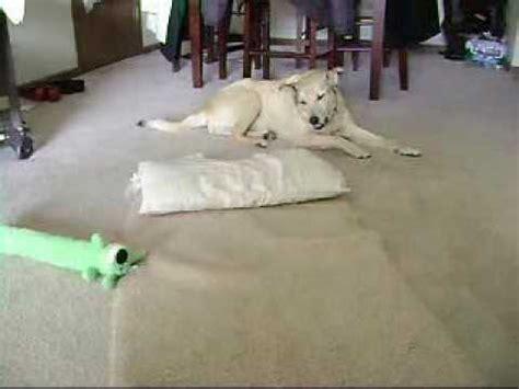 pug seizures while sleeping sleep walking toast funnydog tv