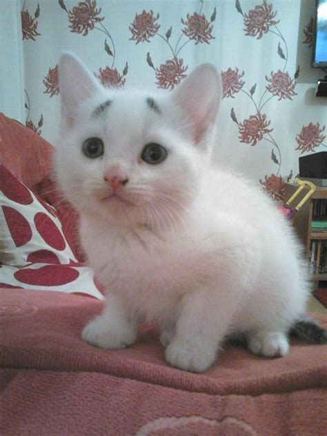 Concerned Kitten, An Adorable Eight Week Old White Kitten