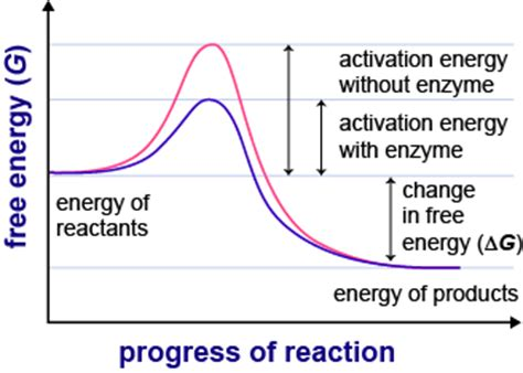 activation energy diagram biology enzymes in detail shmoop biology