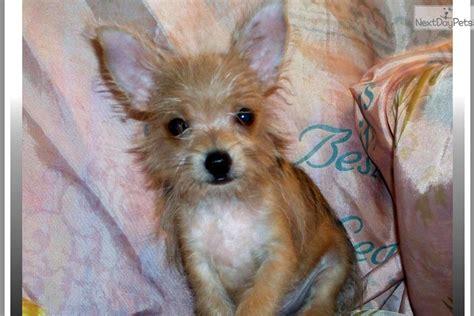 chorkie wikipedia chorkie dogs temperament teacup chorkie www imgkid com