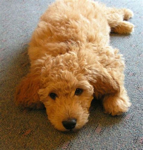 goldendoodle puppy facts 13 best images about doodles on discover best