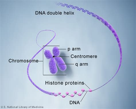 what is a section of a chromosome called what is a chromosome genetics home reference