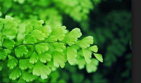 Suplir Atau Adiantum 8 macam tanaman hias beserta contoh dan penjelasannya