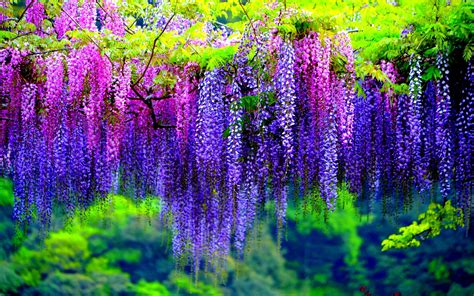 wisteria wallpaper colorful wisteria wallpaper 24446 1920x1200 px hdwallsource