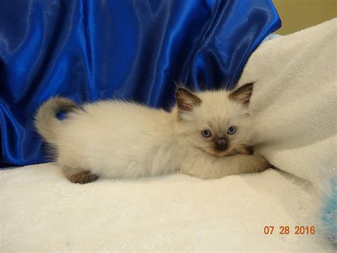 ragdoll kitten price 20 best of ragdoll kittens price