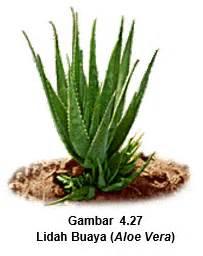 Salep Lidah Buaya tumbuh tumbuhan yang banyak digunakan dalam perawatan