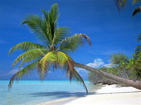 palm tree coconut palm tree pictures facts on coconut palm trees