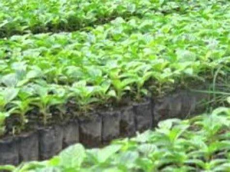 Jual Bibit Anggur Jawa Tengah jual bibit jabon di semarang jawa tengah hub 08121605732