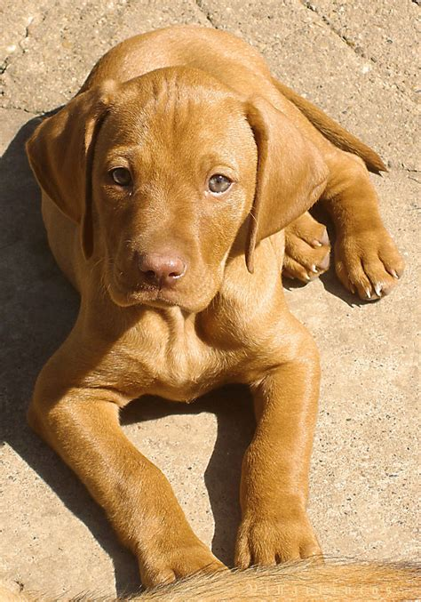 vizla puppies vizsla dogs ᵔᴥᵔ adorable fuzzy wuzzies ᵔᴥᵔ
