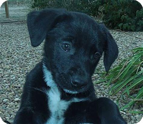 blue heeler puppies colorado puppies adopted puppy 1077 greeley co boxer blue heeler mix