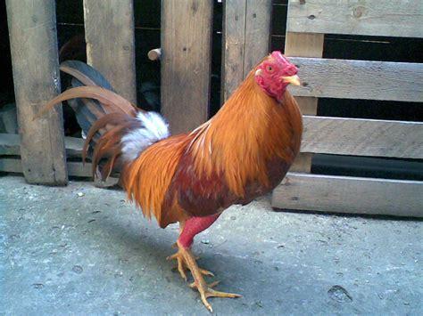 gallos en venta gallos y mas venta de gallos finos car interior design