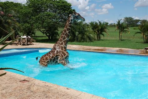 swimming pool pictures giraffe playing in swimming pool 6 pics amazing creatures