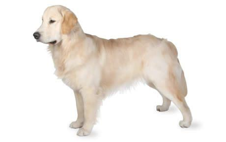 characteristics of golden retriever golden retriever breed information pictures characteristics facts dogtime