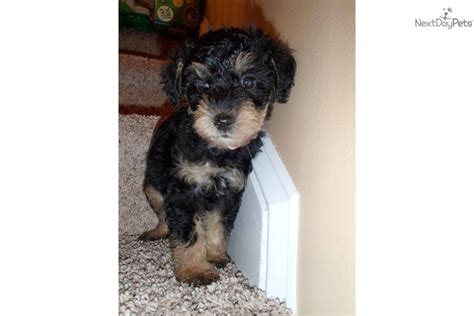 yorkie poo puppies for sale sc shorkie puppies for sale in nc