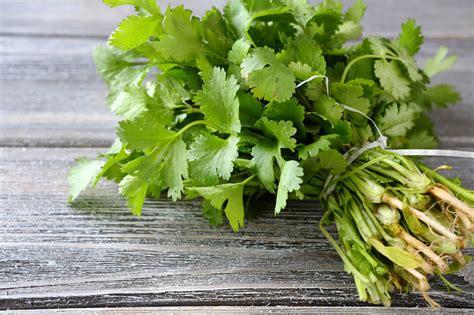 coriander cilantro dried cilantro vs fresh spiceography showdown spiceography