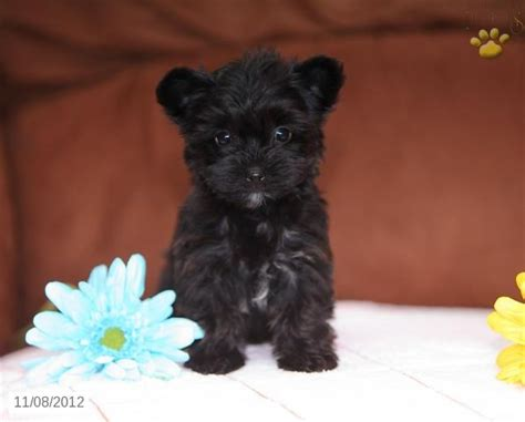 are yorkie poo dogs hypoallergenic 1000 images about yorkiepoo pups on puppys