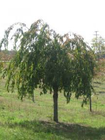 types of weeping cherry trees pictures to pin on pinterest pinsdaddy
