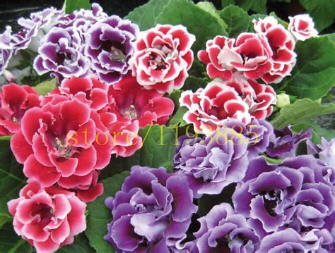 popular sinningia gloxinia buy cheap sinningia gloxinia
