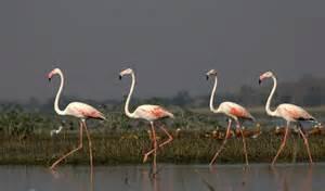 flamingo le rosaflamingo