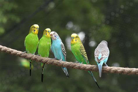 parotia colorful bird image imagefully com images