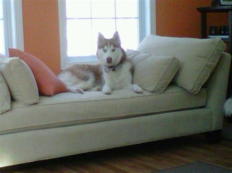 siberian husky in appartamento alla ricerca siberian husky in appartamento o