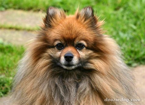 flat pomeranian pomeranians how come some hair instead of fluffy hair yahoo answers
