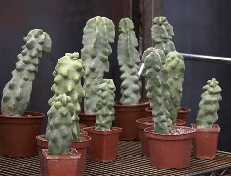 cactus da interno piante grasse da appartamento piante appartamento