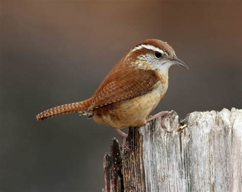 carolina wren i was amazed at the number of wrens which