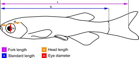 Standard Length by Measurements Illustrated On A Schematic Zebrafish