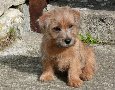 norfolk terrier puppies norfolk terrier puppies rescue pictures information temperament characteristics