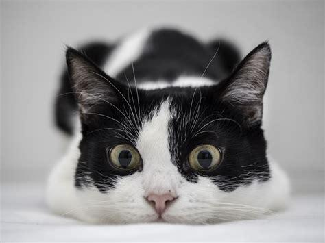 imagenes blanco y negro gatitos un gato blanco y negro hd 1280x960 imagenes wallpapers