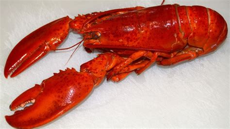 split colored lobster split colored lobster maine 1 in 50 million