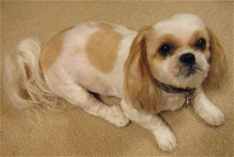 how big can a shih tzu grow find out about the bulldog shih tzu mix dogable