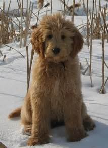The best goldendoodles and bernedoodles with sound temperaments if you