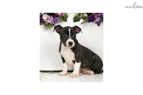 bojack puppies boston terrier puppy for sale near williamsport pennsylvania 7c4434ee 8e61