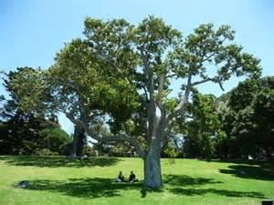 tree photos tree register national register of big trees
