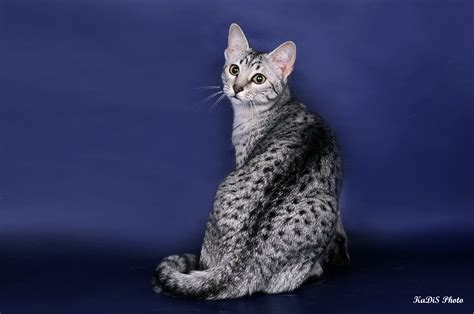 wallpaper egypt cat egyptian mau on a blue background wallpapers and images