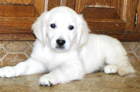 white golden retriever rescue white golden retriever puppy search engine at search