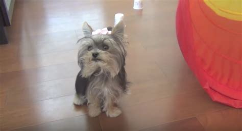 yorkie doing tricks terrier does the most amazing tricks
