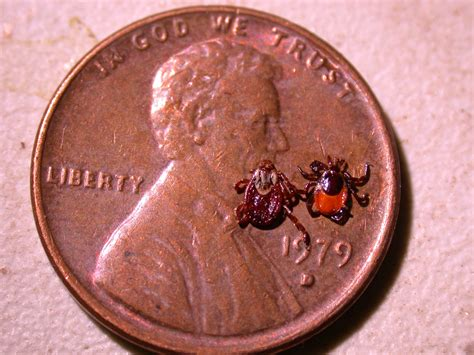 deer tick on deer tick outlook for 2013 news from cooperative extension