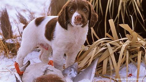 dogs for sale gun dogs for sale absolute gun dogs