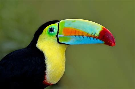 birds with colorful beaks touch this image the rainbow billed toucan bird has a