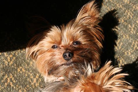 yorkies in chicago miniature terrier october 2012