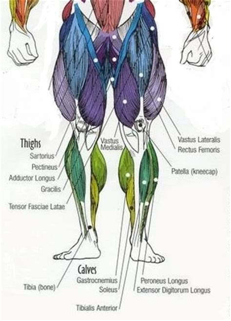 leg muscles diagram leg muscles diagram and the cure