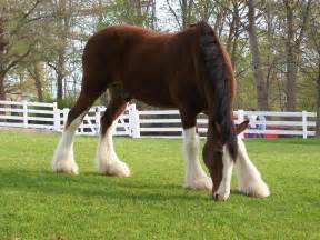 ii as a horse a clydesdale is majestic or lumbering but