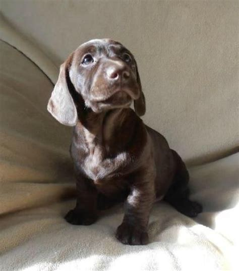 dachshund lab mix puppies dachshund lab mix dogs breeds picture