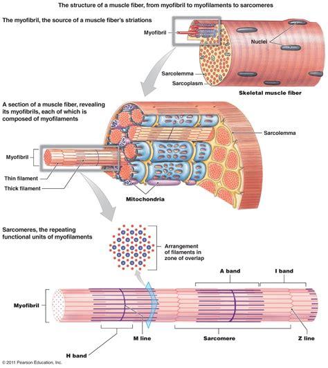 labeled sarcomere diagram fiber structure anatomy anatomy note